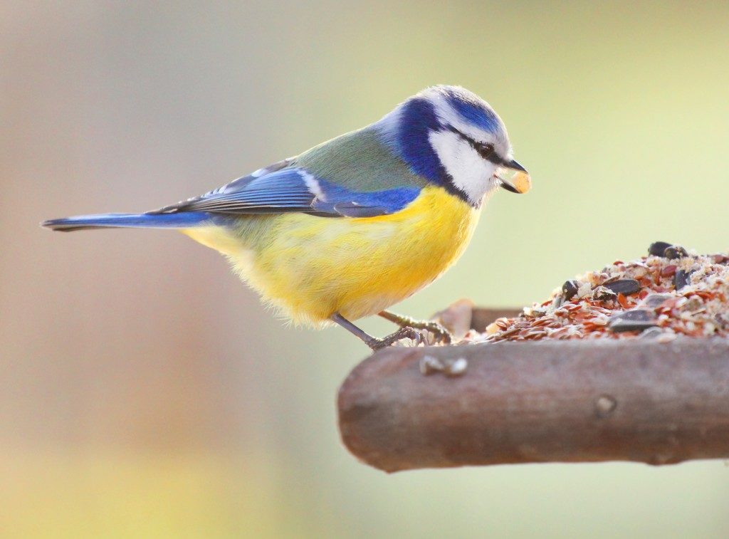 a bird in blue and yellow colors eating