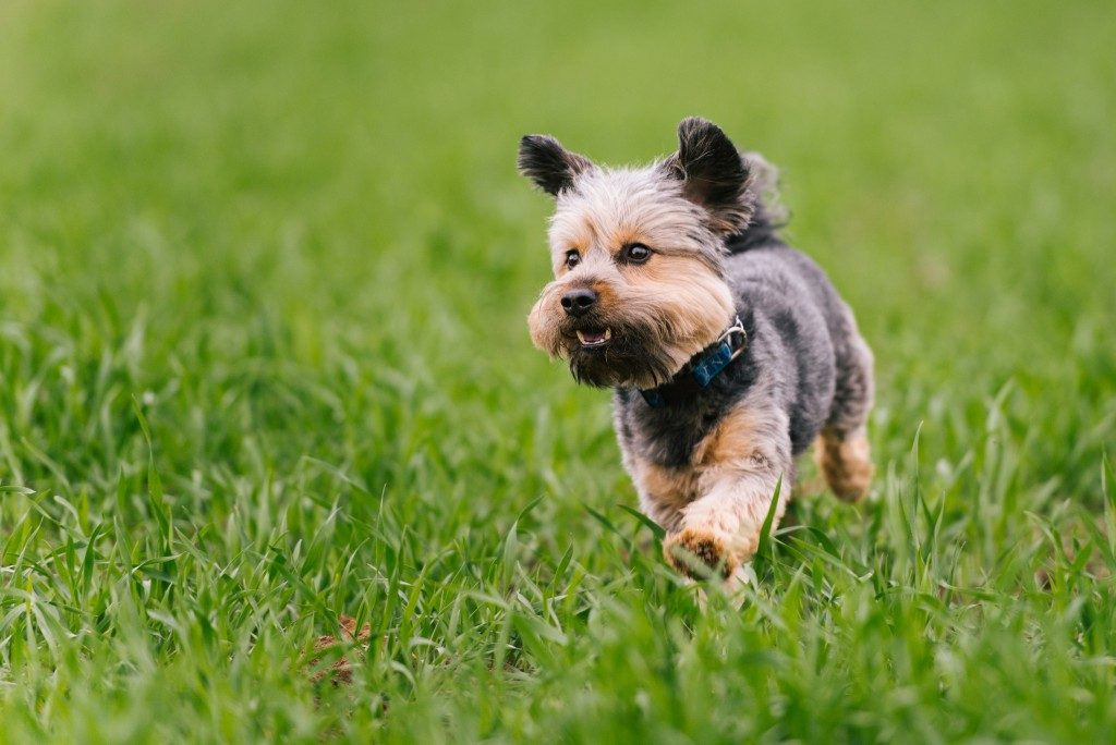 Small dog running in the park