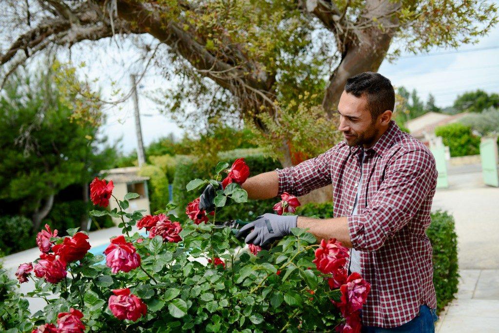 Gardener taking care of roses
