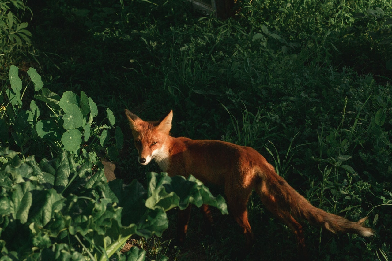 fox in the wild