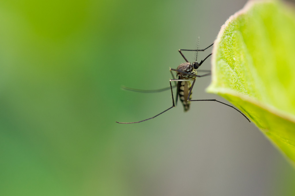 Why Disease-Causing Mosquitoes Are Becoming More Common in Washington